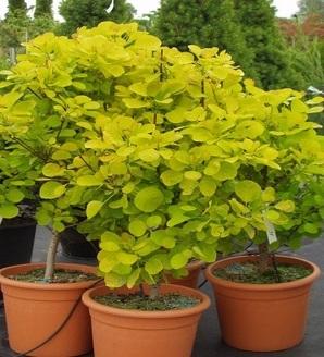 Cotinus coggygria 'Golden Spirit'®