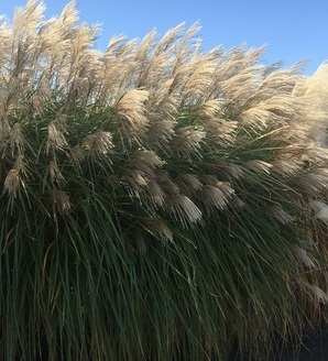 Miscanthus sinensis 'Grosse Fontaine'