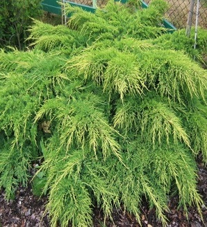 Juniperus x pfitzeriana 'Old Gold'