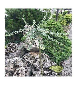 Salix repens var. Argentea