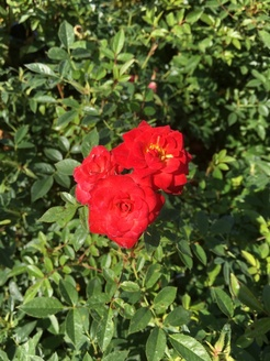 Rosa miniature `Orange`