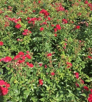 Rosa miniature 'Red'