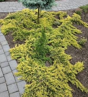 Juniperus horizontalis Golden Carpet'